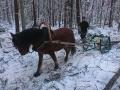 Palgid veeti metsast välja hobusega. Foto: Mikk Mustmaa