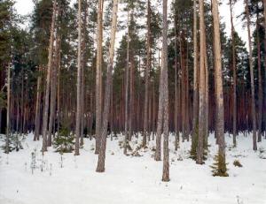 Korralikult laasunud männik Lõuna-Eestis, mille puud sobivad hästi palkmaja ehituseks.